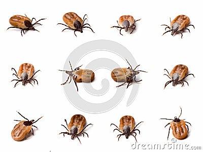 Tick (Ixodes ricinus) close up