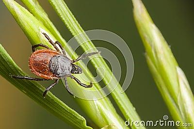 Tick on a plant straw