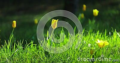 Tid schackningsperiod av gula tulpan som blommar i äng