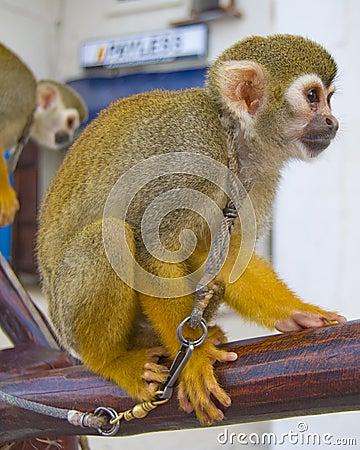 Tied monkey