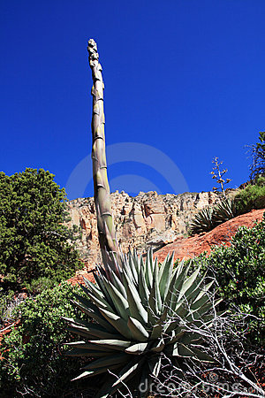 Tige d agave