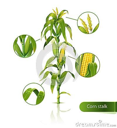 Tige de maïs.