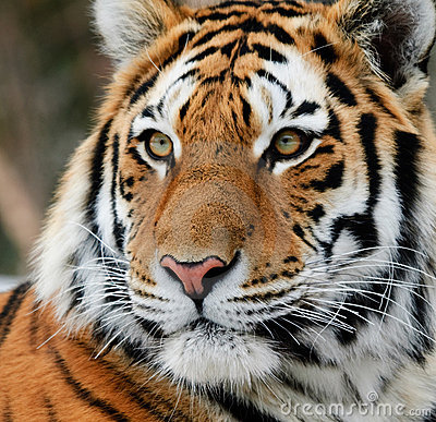 Free Tiger Royalty Free Stock Photography - 10172877