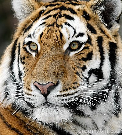 Free Tiger Royalty Free Stock Images - 10446099