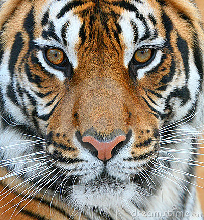Free Tiger Royalty Free Stock Photos - 11566398