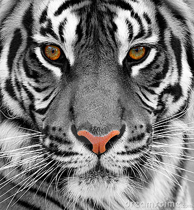 Free Tiger Stock Images - 11662394