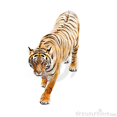 Free Tiger Stock Image - 12171711