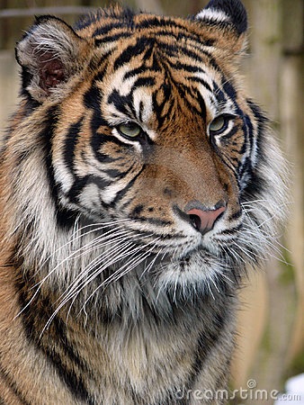 Free Tiger Royalty Free Stock Photo - 13212125