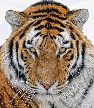 Free Tiger Stock Images - 17727244