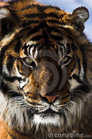 Free Tiger Stock Image - 2034001