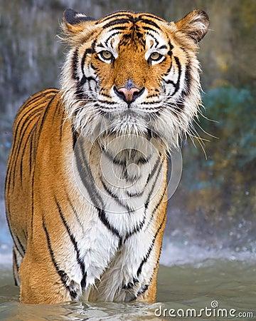 Free Tiger Stock Image - 21138961