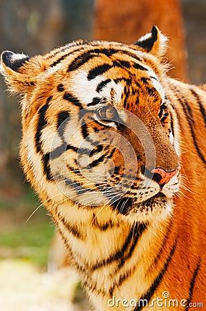 Free Tiger Royalty Free Stock Image - 21992796