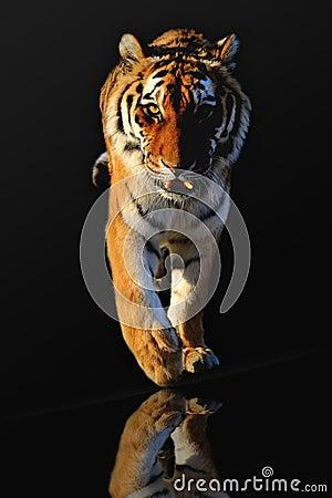 Free Tiger Royalty Free Stock Photos - 26309748