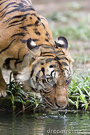 Free Tiger Royalty Free Stock Image - 299436