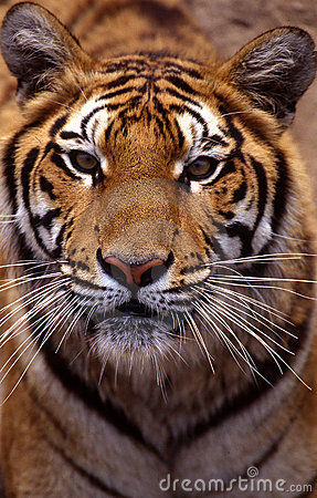 Free Tiger Royalty Free Stock Photo - 5363655