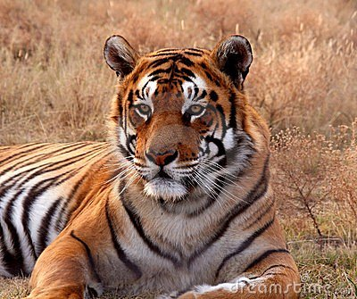 Tiger Stock Images - Image: 6775284