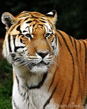 Free Tiger Royalty Free Stock Photo - 91505