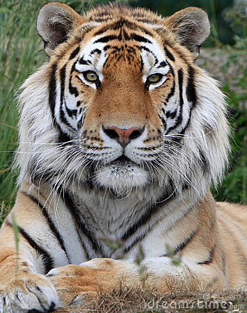 Free Tiger Stock Photo - 9719860