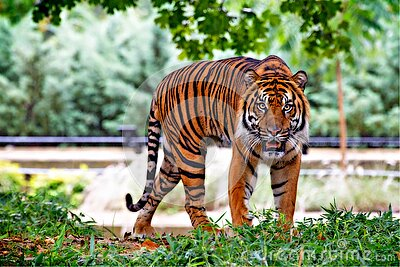 Tiger Above Green Grass During Day Time Free Public Domain Cc0 Image