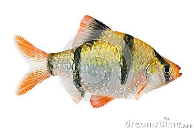 Tiger barb fish