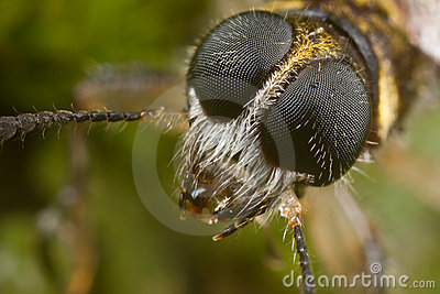 Tiger beetle face shot