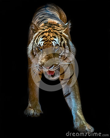 Free Tiger Bengal Royalty Free Stock Images - 55188739
