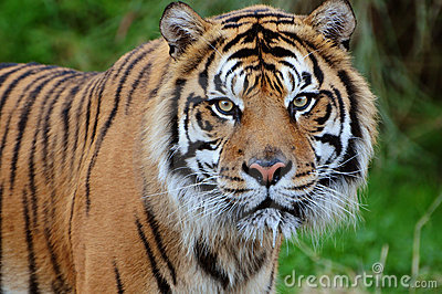 Tiger close-up