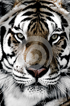 Free Tiger Close-up Of Face Royalty Free Stock Images - 78730539