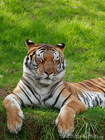 Tiger with closed eyes