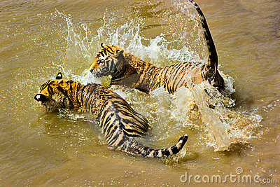 Tiger couple playing