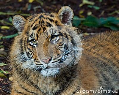 Tiger - Cub