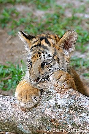 Free Tiger Cub Royalty Free Stock Image - 2147816