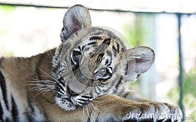 Tiger cub 4