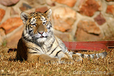 Tiger cub laying down