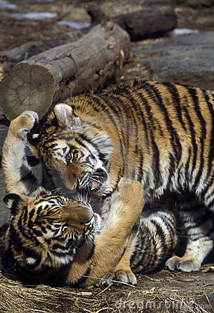 Free Tiger Cubs Playing Royalty Free Stock Photo - 46735