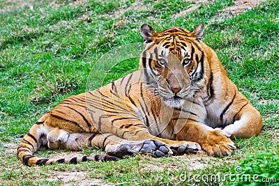 Tiger, der entlang Sie anstarrt