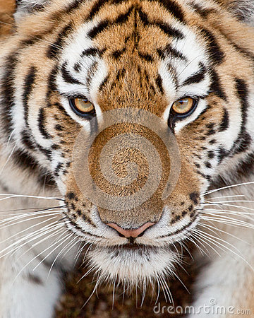 Free Tiger Face Stock Image - 39136391
