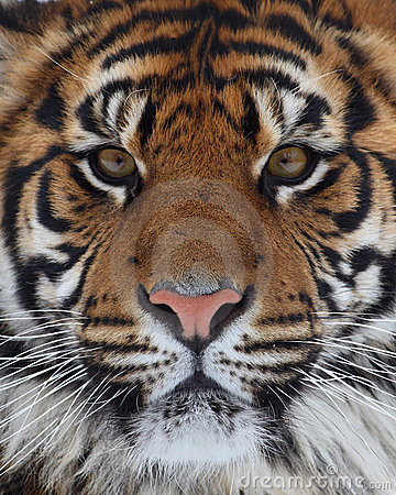Free Tiger Face Stock Photo - 5678510