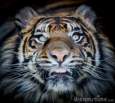 Free Tiger Face Tongue Stock Photography - 44079482