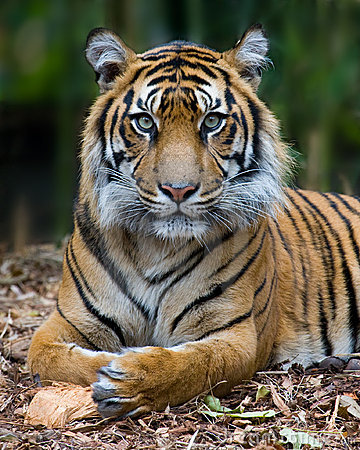 Tiger - Formal Portrait