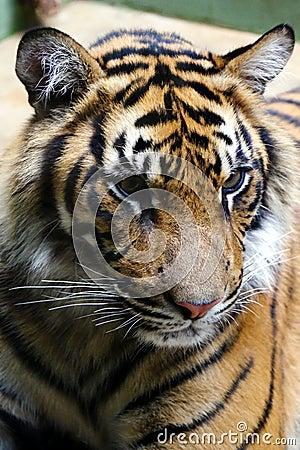Tiger, friendly animals at the Prague Zoo.
