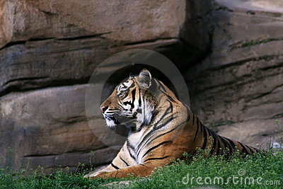 Tiger in front of the rock