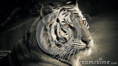 Tiger With Glowing Orange Eyes almacen de metraje de vídeo
