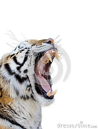 Free Tiger Growling Royalty Free Stock Photos - 3341748