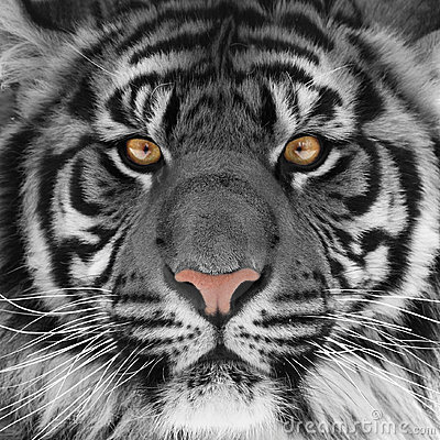Free Tiger Head Stock Photos - 11952003