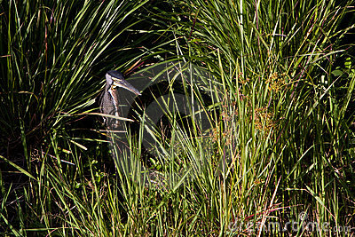 Tiger-heron bird sitting between the grass
