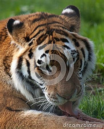Tiger licking food