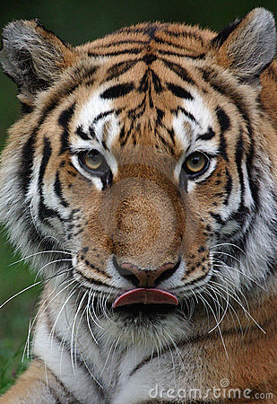 Free Tiger Licking Mouth Royalty Free Stock Photography - 313037