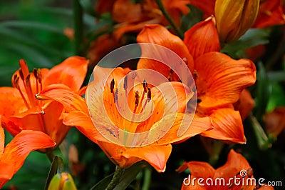Tiger lilly flower