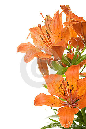 Free Tiger Lily Stock Photo - 14828070